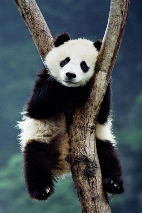 Image about panda in animals by Omar Bitar on We Heart It
