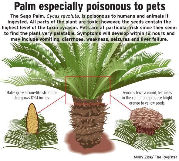 En inglés la llaman palmera de Sago, en castellano es Cica, Palma de iglesia o Falsa Palmera, también Cyca Revoluta o Palma de Sagú. Es una planta que proviene de Japón y es tanto de exterior como de interior porque es muy resistente.  Se puede decir, explican en una web especializada, que se trata de un fósil viviente. Con más de 300 millones de años de existencia, apareció antes que los dinosaurios. Y aunque parece una palmera, técnicamente no lo es.  El problema es que también es…