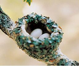 How to get hummingbirds to nest in your garden.