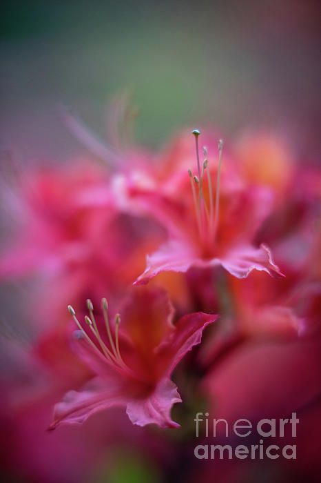 Two delicate Azalea blooms with soft light. Photography by Mike Reid