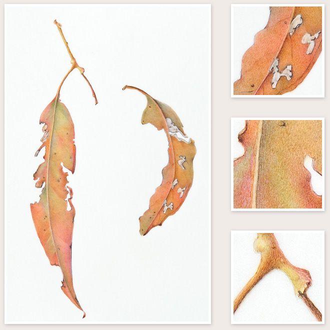 Sharon Field Botanical Artist - Eucalyptus sp. (Eucalyptus Leaves)