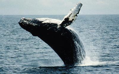 Entre las especies que fueron retiradas de la lista destaca la ballena jorobada.