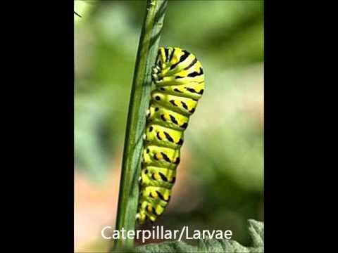 Butterfly Life Cycle - YouTube