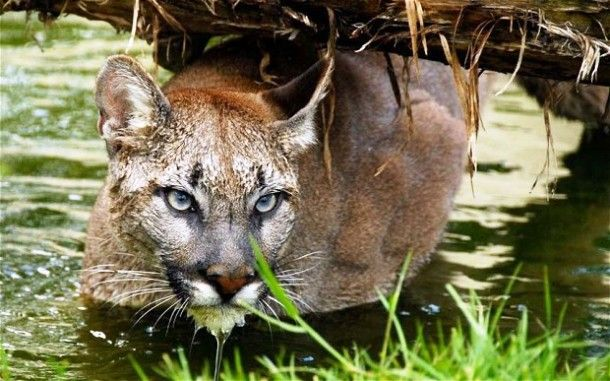 the puma - another one of the beautiful creatures in #torresdelpaine #chile #patagonia #adventuretravel