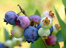 Wild  Blueberries are common place