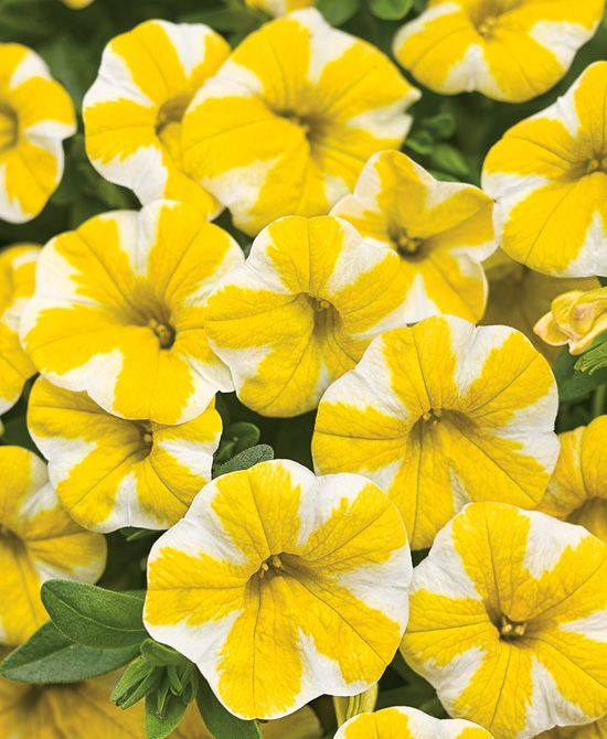 17 Best Images About Annuals On Pinterest | Home, Colors And Sun
