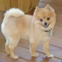 how to cut pomeranian hair at home