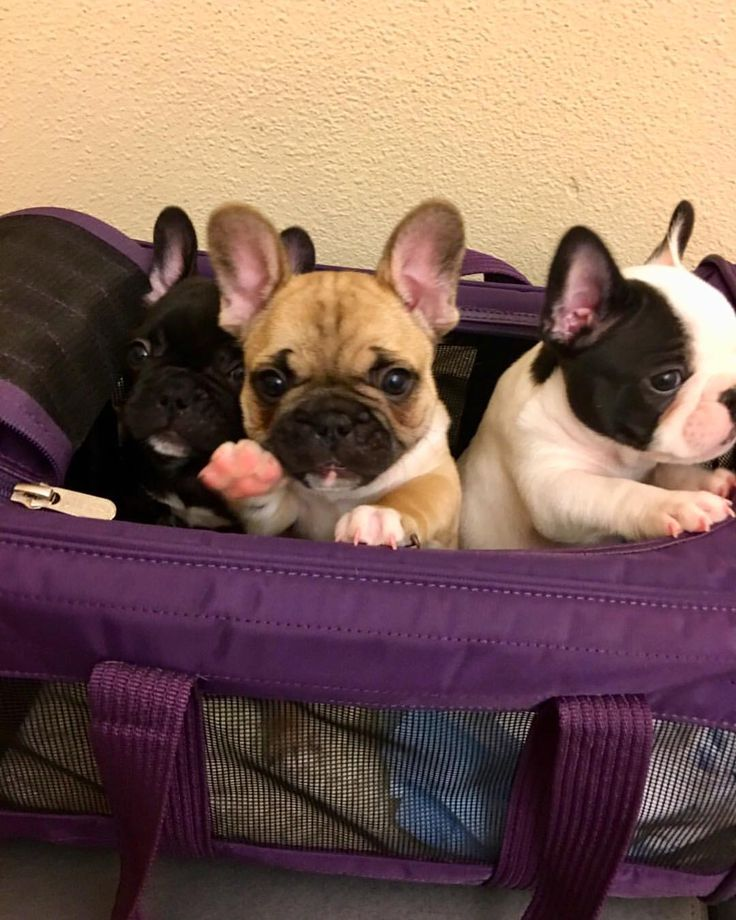 Frenchies, French Bulldog Puppies❤️
