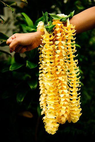.: Hawaiian The, Dreams Home, Summer Vacations, Beautiful Yellow, Puakenikeni Leis, Hawaiian Flower, Color, Pua Kenikeni, Hawaiian Stuff