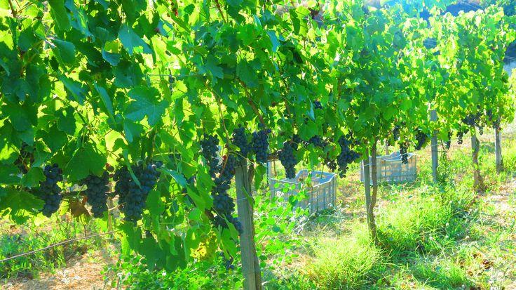 Fikardos Winery Organic #Shiraz vineyards in Paphos, #Cyprus