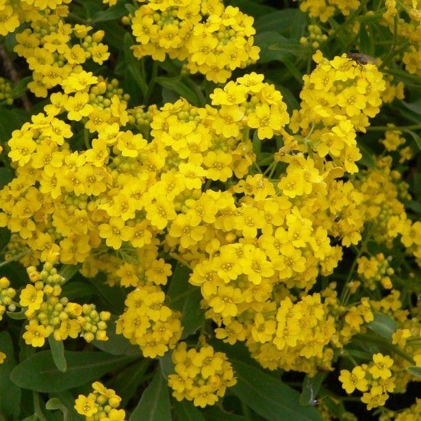 Alyssum Saxatile Goldkugel Corbeille D Or A Fleurs Jaunes