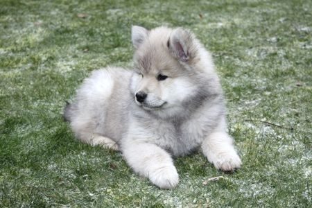 Eurasier puppy