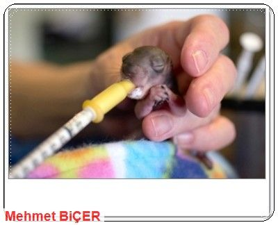 Bebek sincap besleniyor