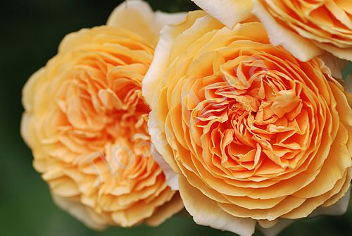 Роза Кроун Принцесса Маргарет / Crown Princess Margaretha (английская)