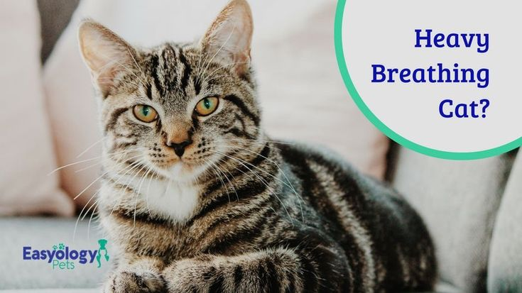 Heavy Breathing Cat? Here's What You Should Know. | Heavy ...  Heavy Breathing Cat Picture