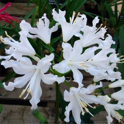 The stunning, candid Nerine 'Catlin' - Best plants for Autumn