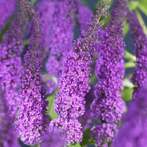 Sommerfuglbusk 'Buzz Violett' 2 L