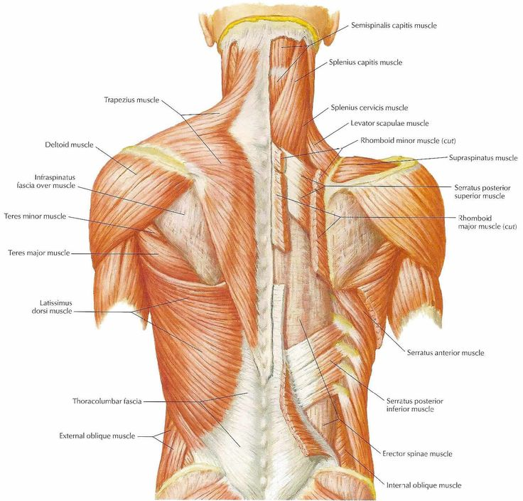 134 best images about anatomy muscles on pinterest | muscle, Muscles