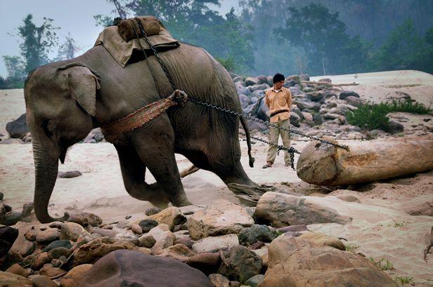 Schiavi con le zanne L'apertura del confine laotiano-cinese e l'enorme domanda cinese di mobili in mogano hanno portato a due conseguenze terribili. La prima: una deforestazione senza precedenti lungo la costa del fiume Mekong in Laos. La seconda: la nascita di un commercio di schiavi. Sono 1500 elefanti maltrattati e costretti a trasportare tronchi nella foresta. Foto: Wang Yizhong, Cina/Sony World Photography Awards 2014