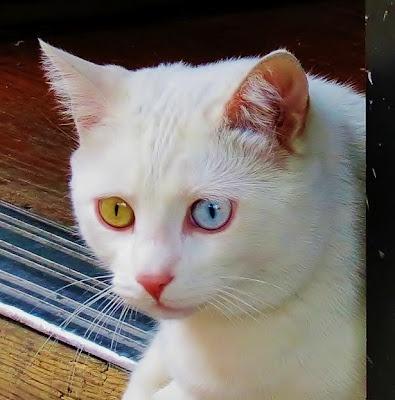 cat eyes: Glorious Cat, Cat Eyes, Cat Glorious, Cat Harley, Kitty Eye, Identity Eye, Cats Kittens, Meowsom Cat, Liquor Store