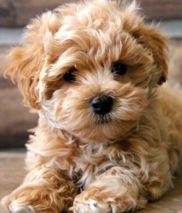 Teacup Labradoodle Toy Dog Breeds Maltipoo Puppy Cute Dogs Breeds