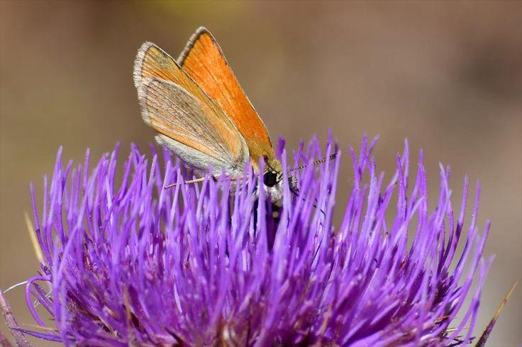 Ο μικρόκοσμος του Ναυπλίου. Πεταλούδες κάθονται σε ανθισμένο γαϊδουράγκαθο στην πόλη του Ναυπλίου.