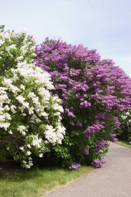 'Mount Baker'; 'Pocahontas' Lilac (Syringa x hyacinthiflora 'Mount Baker'…