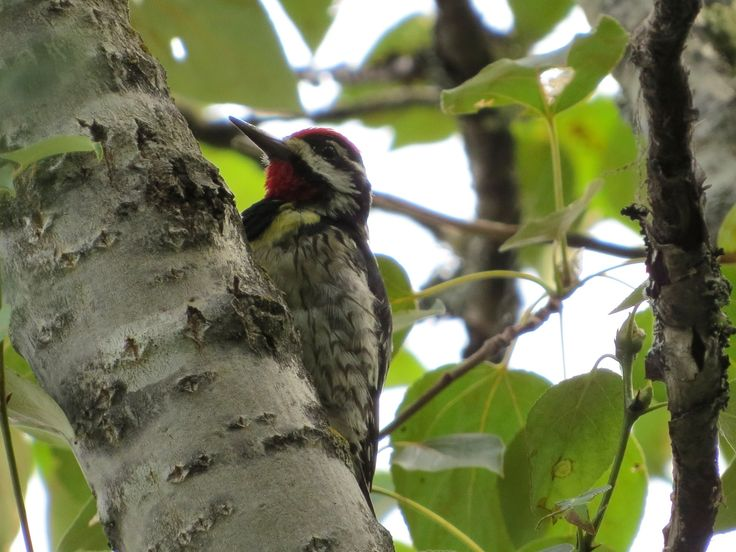 Yellow-bellied Sapsucker / Pic maculé -  Ivanhoe Lake Provincial Park (August 2014)