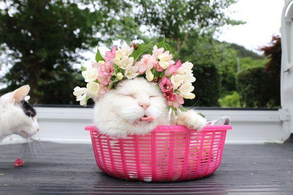 ネコ おしゃれまとめの人気アイデア Pinterest Koume かご猫 猫大好き 猫