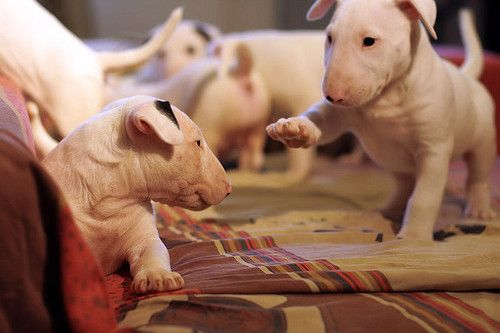 English Bull Terrier puppies-one of my top three favorite dog breeds they are so beautiful