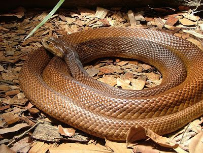 Eastern Brown Snake Latest Hd Wallpapers/Images 2013 | Beautiful And Dangerous Animals/Birds Hd Wallpapers