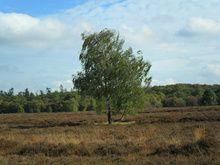 Een eenzame boom in een heideveld
