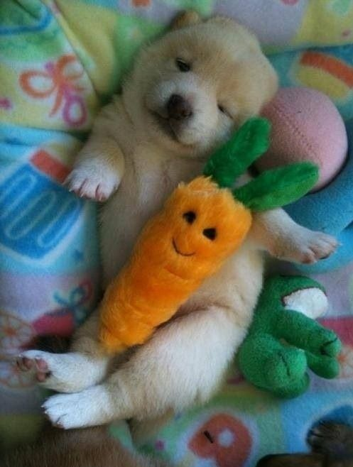 This little puppy cuddled with his carrot from the market