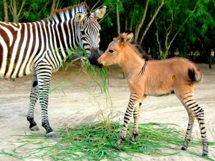 les animaux hybrides quels dangers ????