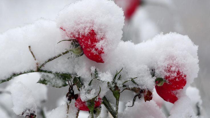 So machen Sie Rosenstämmchen & Co. im Handumdrehen winterfest.