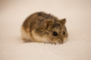 Russian Dwarf Hamster. LOVE them!