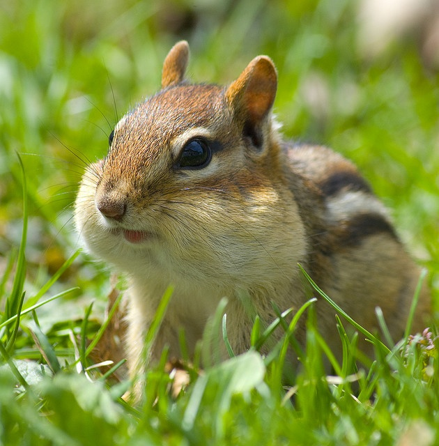 Chubby small chipmunk
