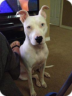 Pilot Point, TX - Pit Bull Terrier Mix. Meet RYLEIGH, a dog for adoption. http://www.adoptapet.com/pet/11364835-pilot-point-texas-pit-bull-terrier-mix