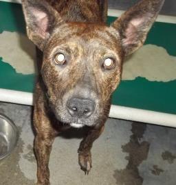 2 / 27     Petango.com – Meet Cierra, a 2 years 5 months Terrier, Pit Bull / Mix available for adoption in CLINTON, MO Contact Information Address  1307 N Washington, CLINTON, MO, 64735  Phone  (660) 885-7999  Website  http://www.petango.com/shelter s  Email  clintonanimalshelter@embarqmai l.com
