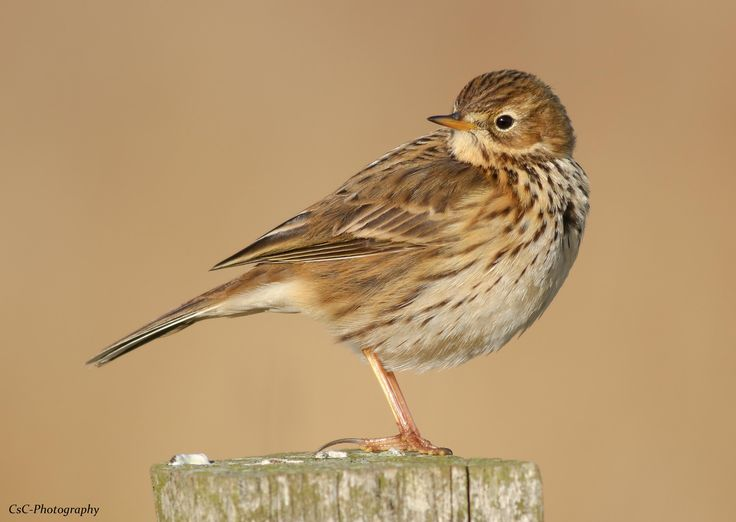 Meadow Pipit (F5.6 ISO 160 1/800 640mm)