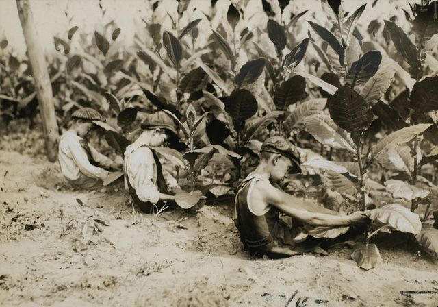 """© Lewis Wickes Hine, Aug. 2, 1917, Picking Shade-grown Tobacco """"I kissed my first girl and smoked my first cigarette on the same day. I haven't had time for tobacco since."""" (Arturo Toscanini)"""