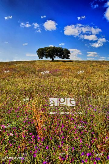 Lonely holm oak, Quercus ilex, in the fields of Extremadura, Spain