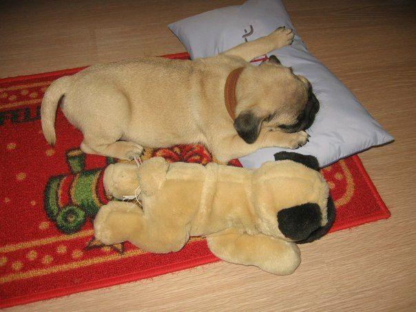 Pugs Will Sleep Anywhere Pugs Pug Puppies Pug Love