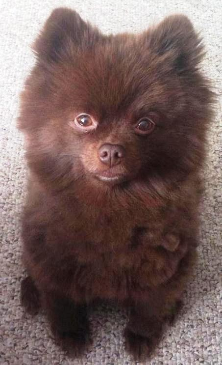 Ha! this looks like Lucy, too. Chocolate Pomeranian