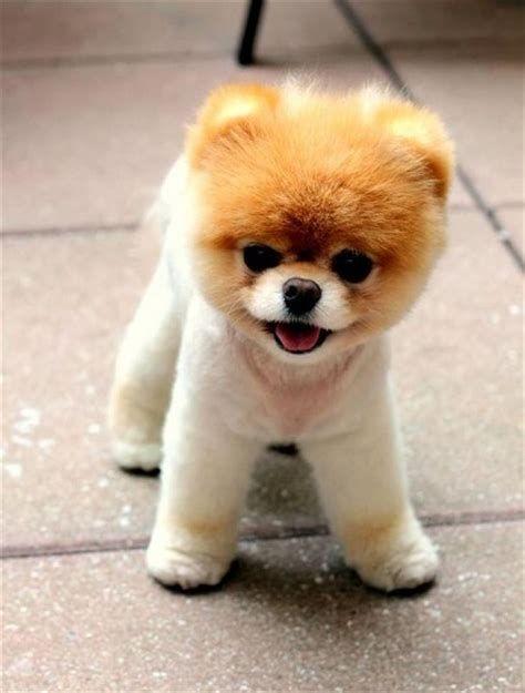 Etwas Neues genug pomeranian teddy bear cut pics - Yahoo Canada Search Results &JH_81
