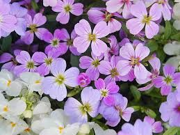 Resultado de imagen de aleli flor