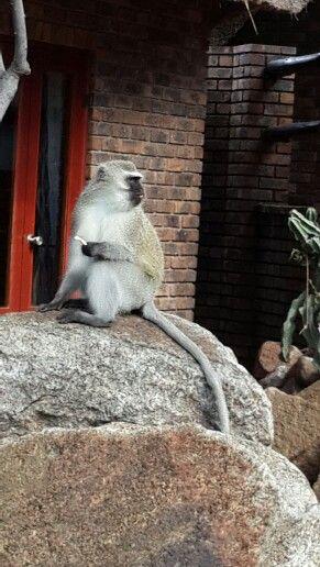 Bakubung Lodge...Pilansberg Nature Reserve, North West Province...monkey