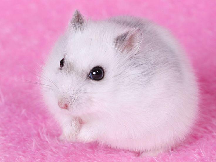 Cute Hamsters Wallpapers  Litle Pups 2048×1365 Hamster Backgrounds (40 Wallpapers) | Adorable Wallpapers
