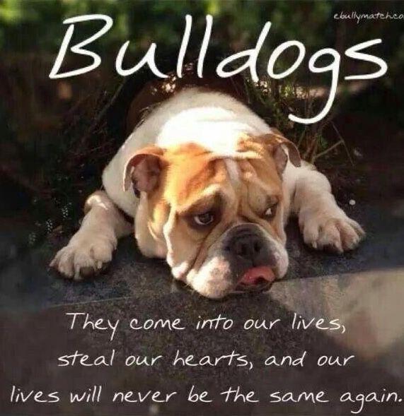 Pin By The Great British Bulldog On Bulldog Memes Bulldog Bulldog Funny English Bulldog