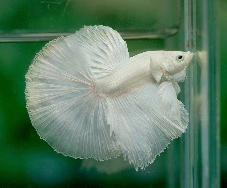 Snow #white #Halfmoon #Betta fish!! :) | Betta Fish ...